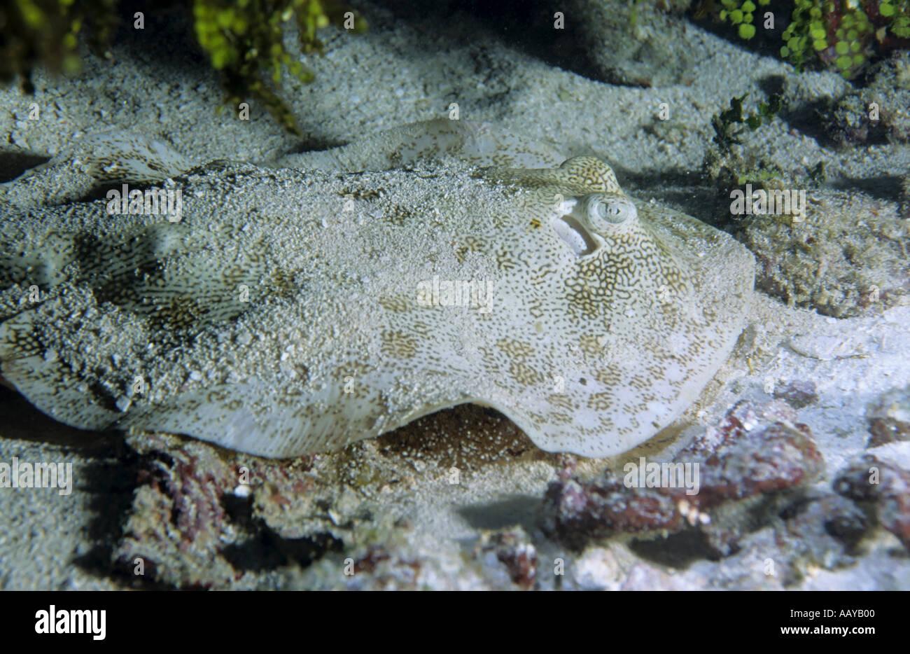 La Isla de Cozumel México Paraíso Amarillo Stingray Urolophus Jamaicensis cubierto con arena Imagen De Stock