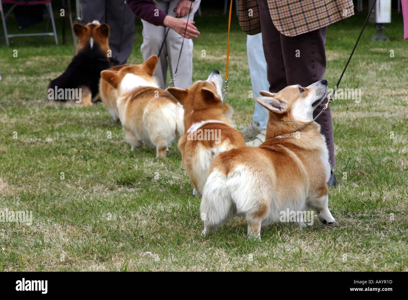 Corgi perros en tres condados Dog Show Malvern Foto de stock