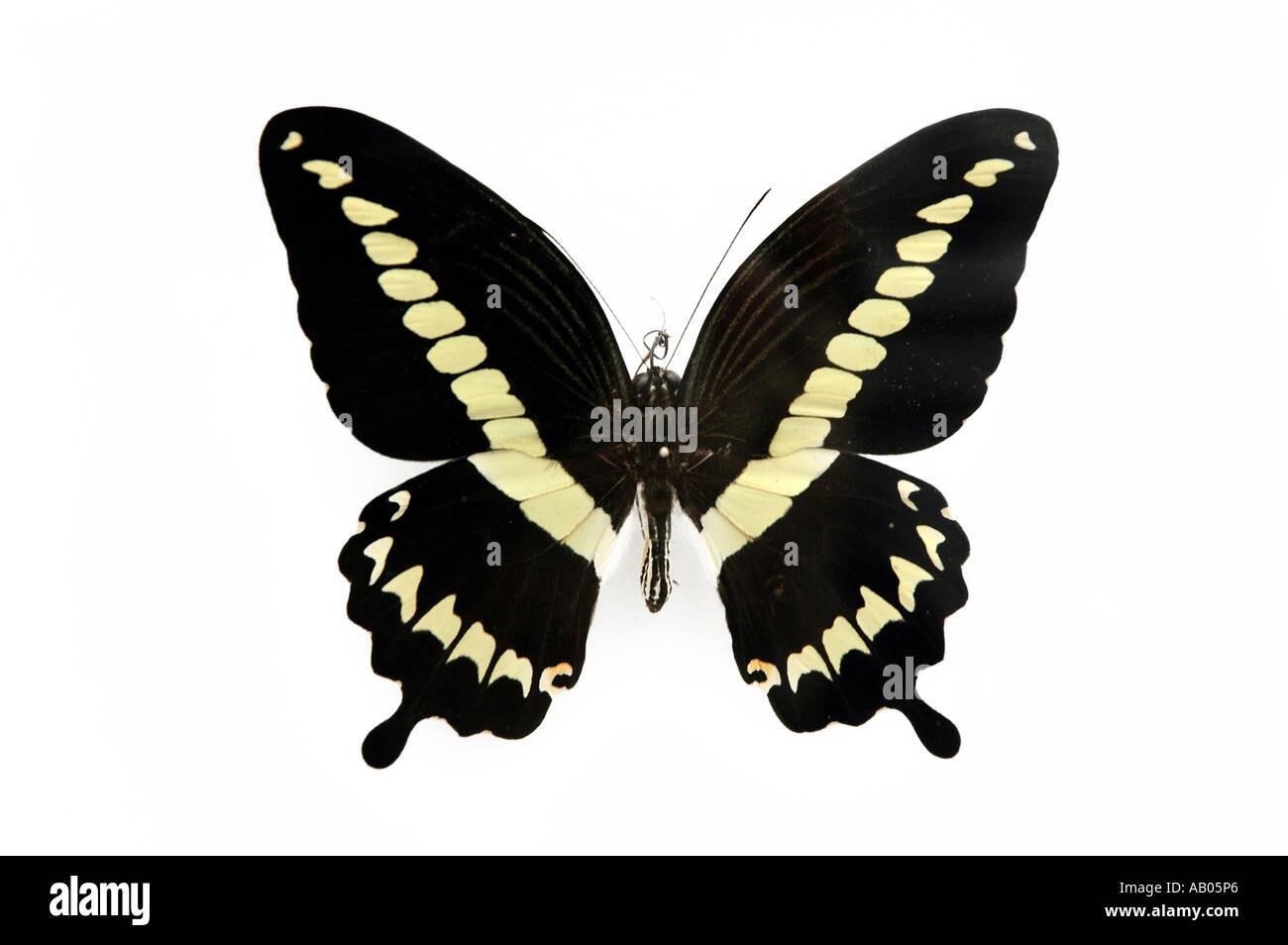 Papilio Gigon desde isla Indonesia Celebes Foto de stock