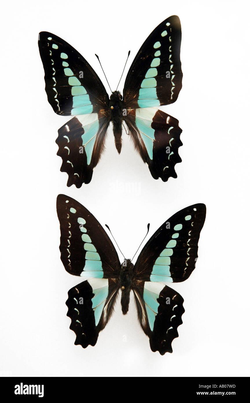 Graphium Milon butonensis forma mariposa Indonesia isla Buton Foto de stock