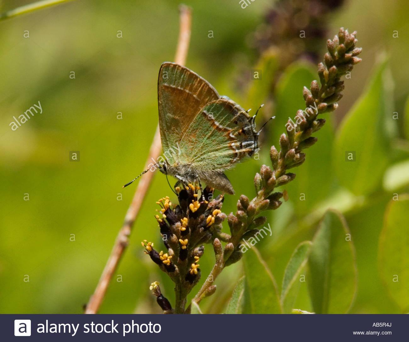 Siva Juniper Hairstreak Callophrys gryneus Mitoura gryneus siva Butterfly Foto de stock