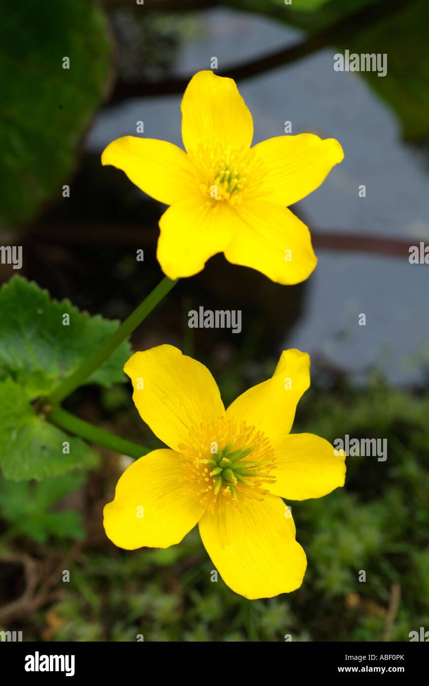 Marsh Marigold Caltha palustris amarillo agua dulce flor Kingcup Planta común Bosques Húmedos pantanos acequias brillante dorado wild Foto de stock