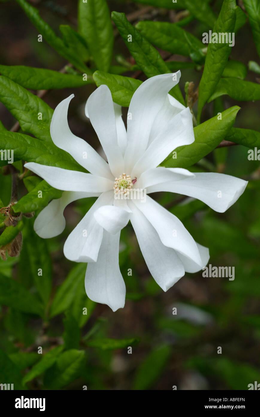 Árbol de magnolia stelata arbusto leñoso de madera de estrella blanca flor floración primavera alargada pétalo de flor en flor flor Foto de stock