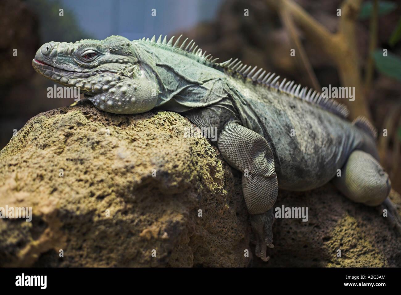 Siesta de Iguana Imagen De Stock
