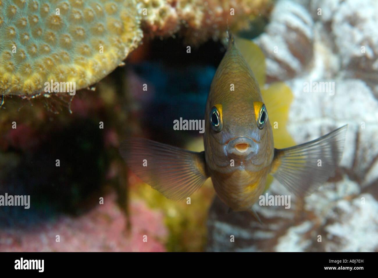 Threespot damisela en jardín de flores en el Golfo de México Foto de stock