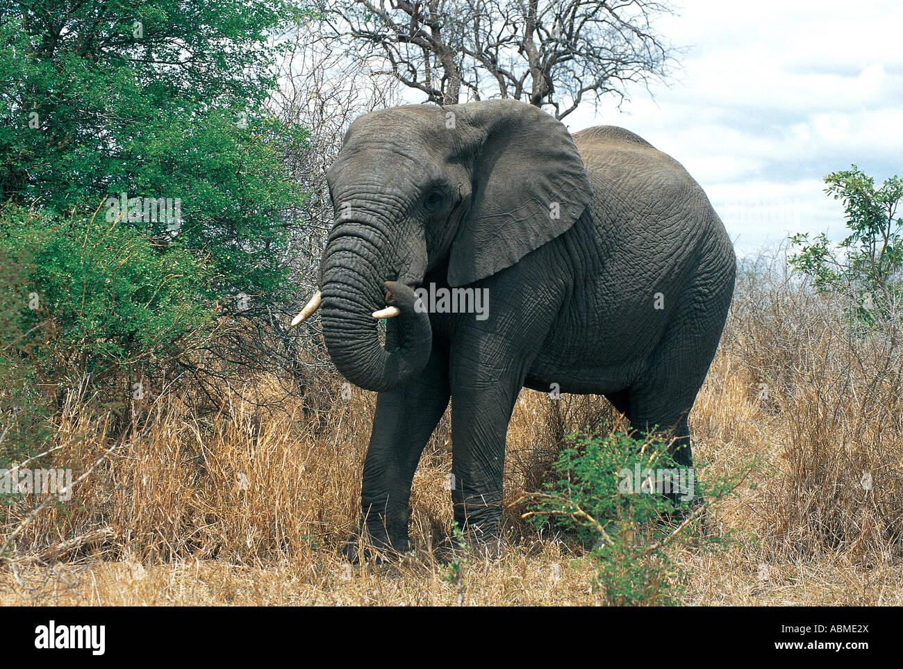 Elefante Africano Parque Nacional Kruger Sudáfrica Imagen De Stock