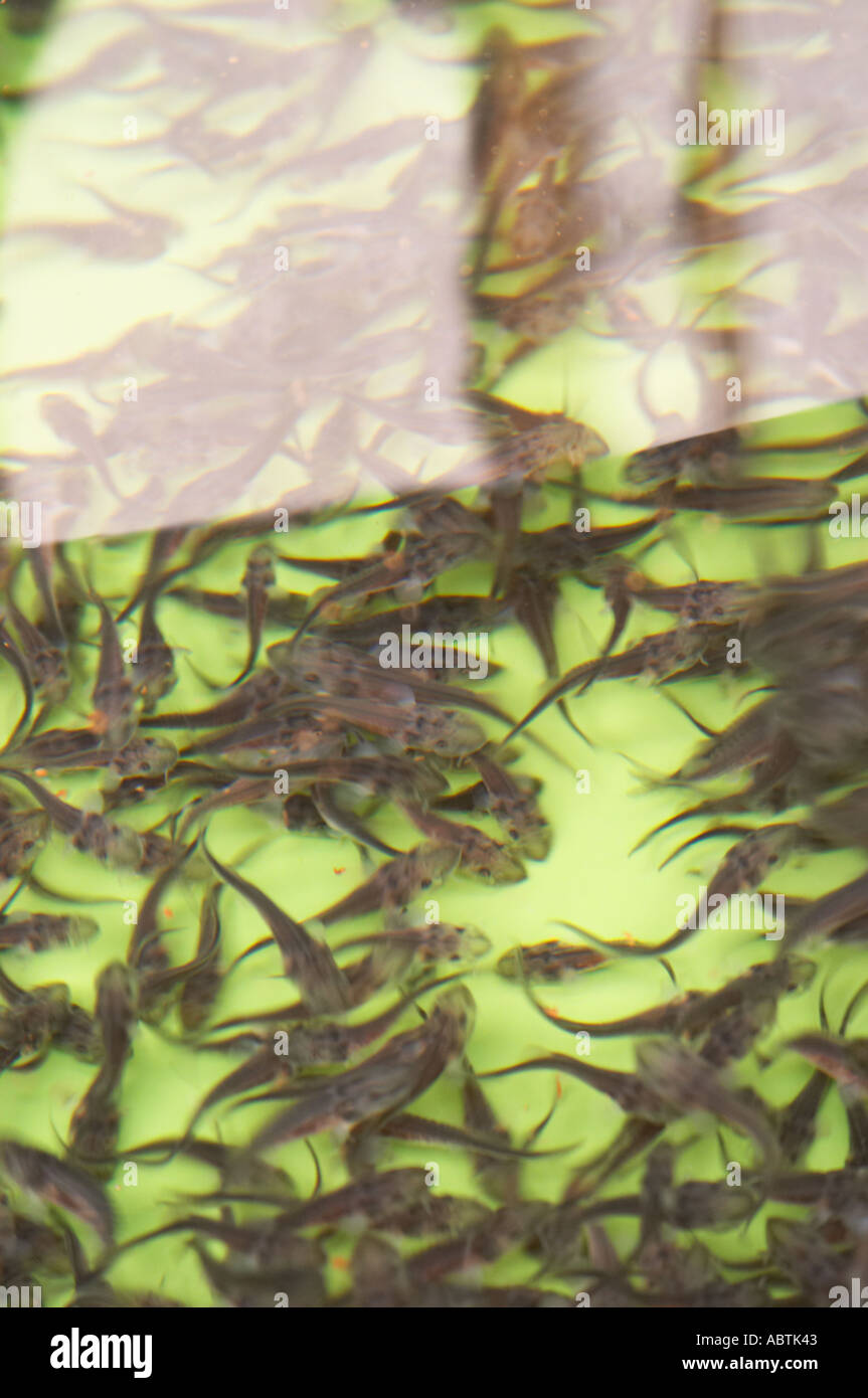 Acipenser baeri im genes de stock acipenser baeri fotos for Vivero para peces