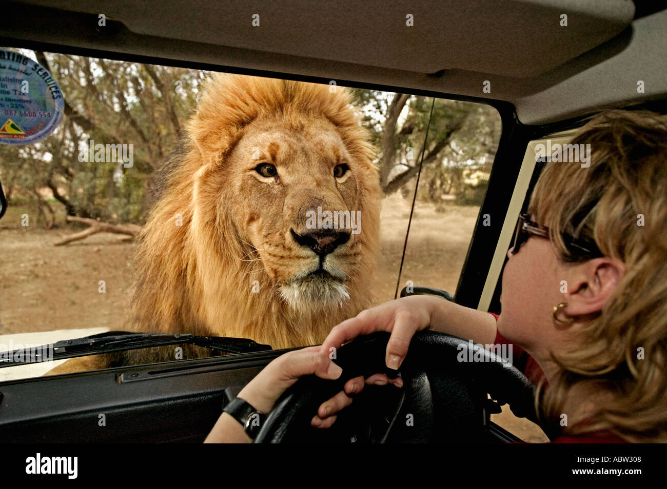 León León Panthera leo mirando a través de la ventana de modelo del vehículo turístico liberó Sudáfrica Dist el África subsahariana Imagen De Stock