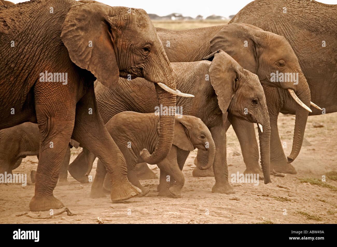 Elefante Africano Loxodonta africana rebaño en el mover el Parque Nacional Amboseli Kenia Dist el África subsahariana Imagen De Stock