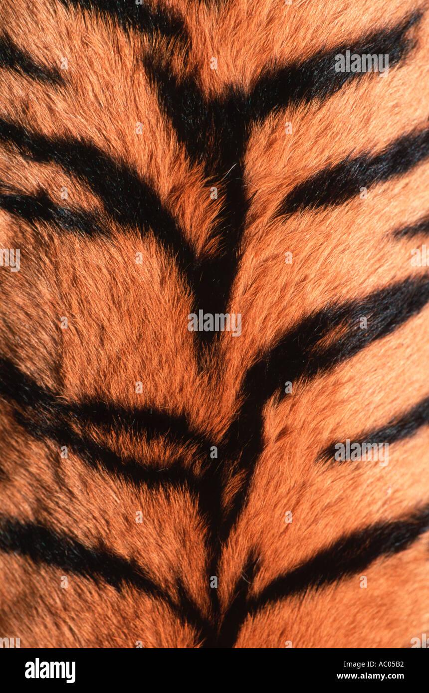 Tigre (Panthera tigris) muestra patrón de piel Asia amenazadas pero extinguido en gran parte de su área de distribución Foto de stock
