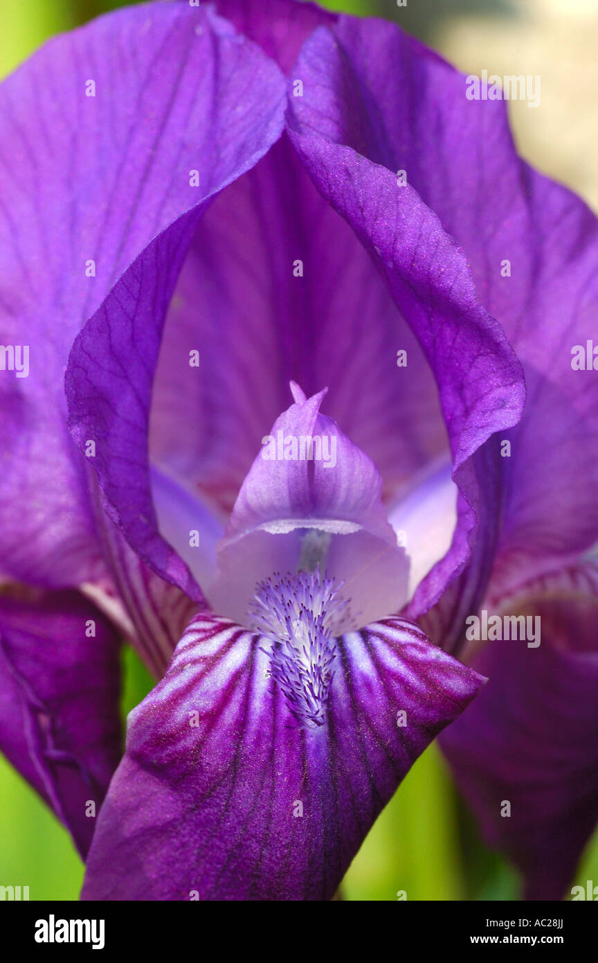 Iris graeberiana Foto de stock