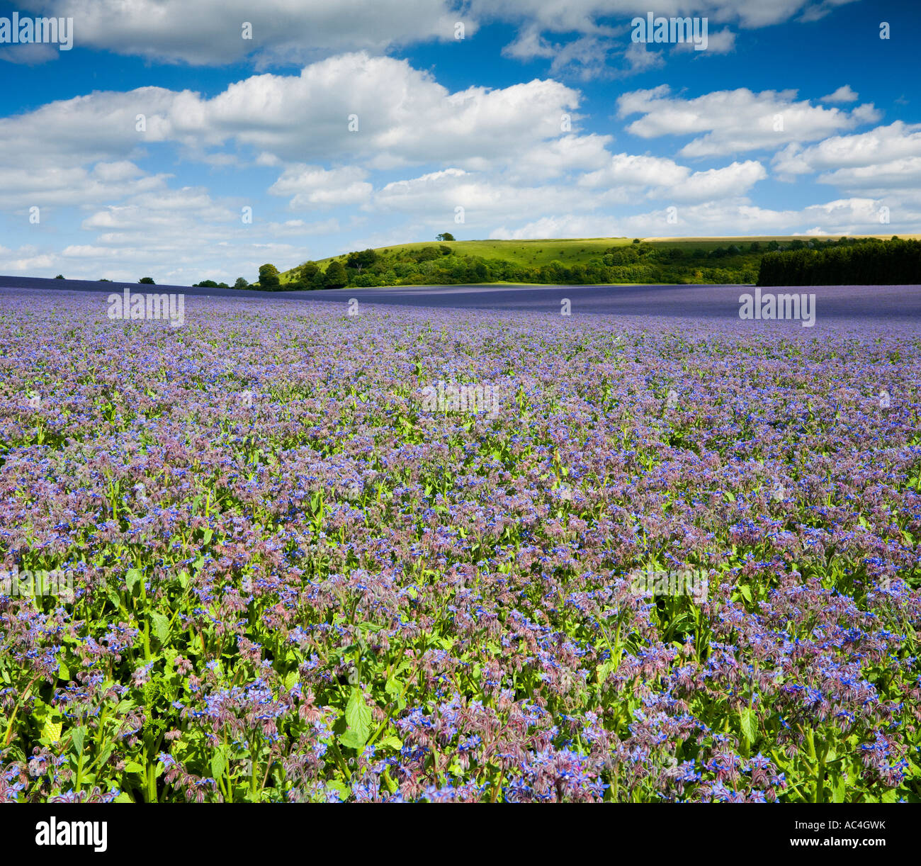 Campo de cultivo de borraja azul Gran Litchfield en North Hampshire UK Imagen De Stock