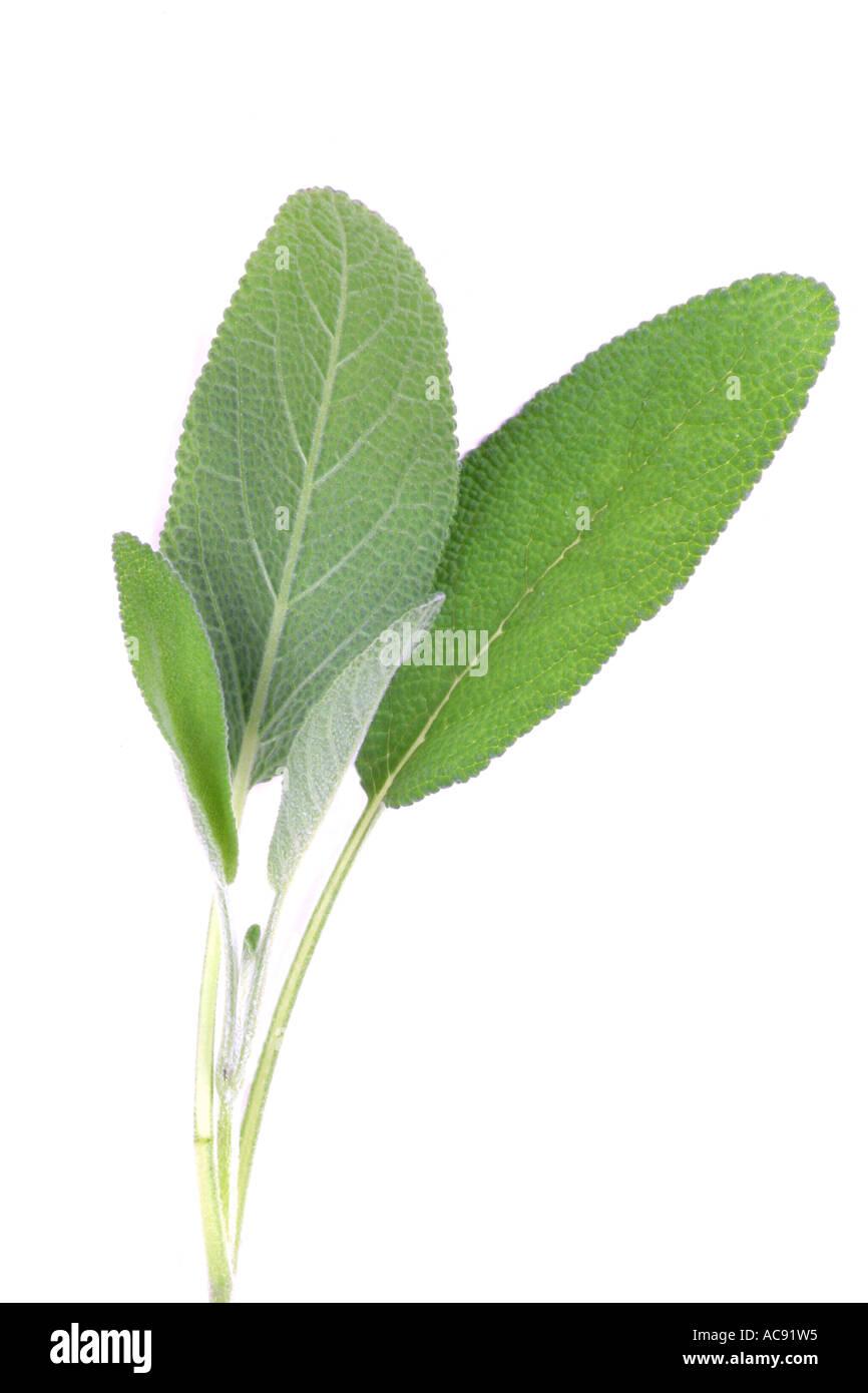 Salvia Cocina | Cocina Comun Salvia Sage Salvia Officinalis Follaje Las Hojas