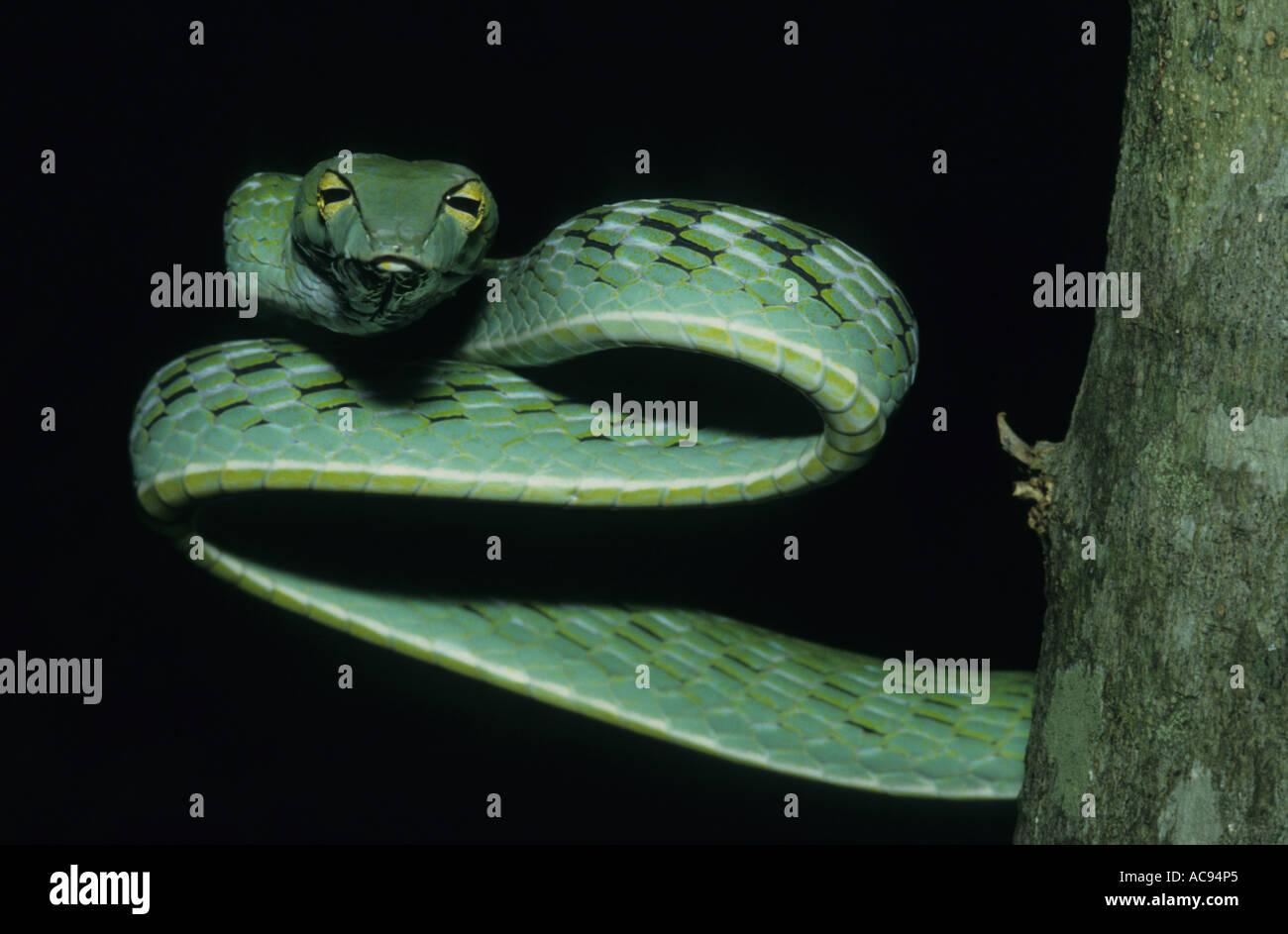 Árbol de larga nariz de serpiente, de larga nariz, whipsnake whipsnake Orientales (Ahaetulla prasina), vista desde la parte delantera, Indonesia, Sumatra Foto de stock
