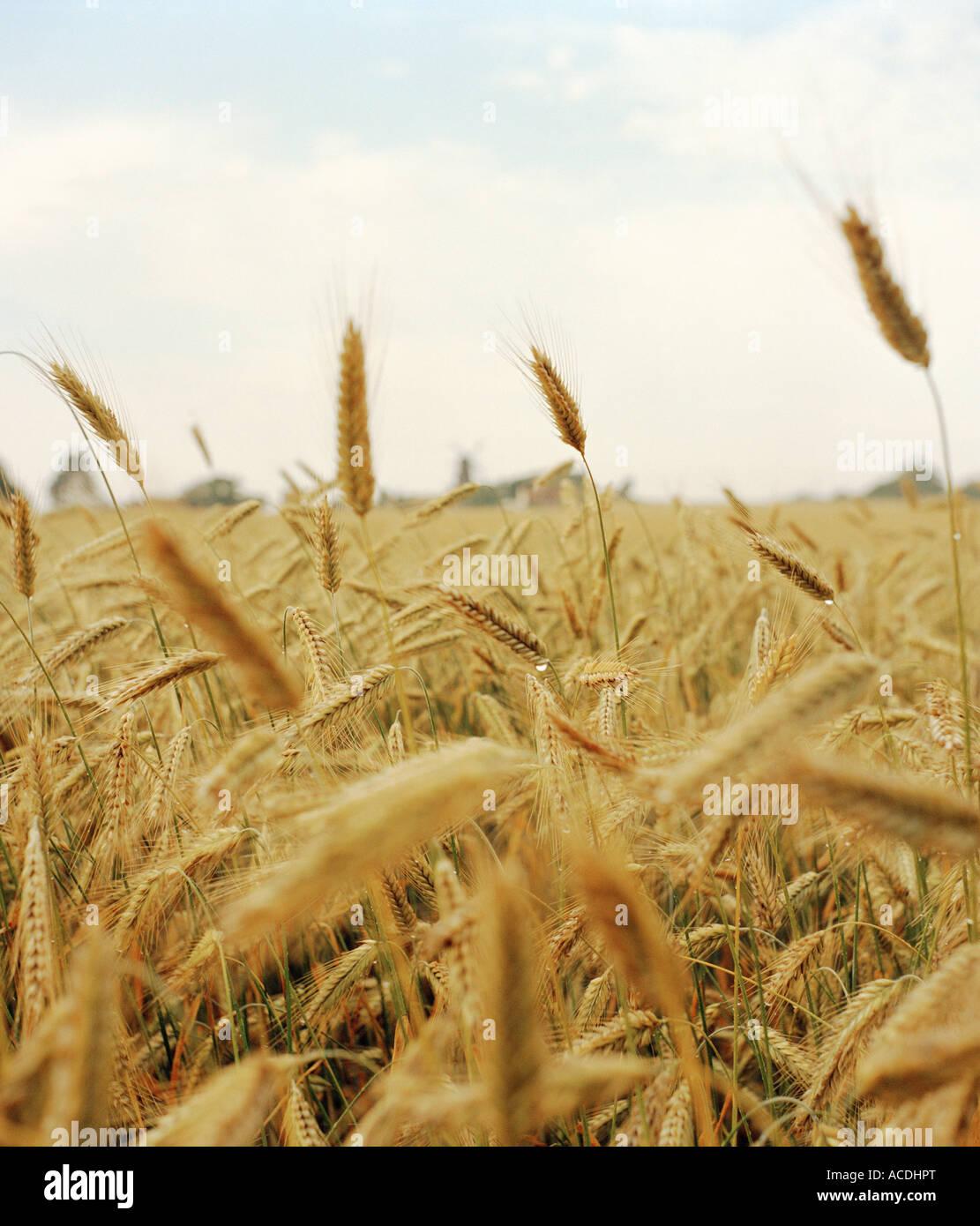 Un campo de trigo. Imagen De Stock