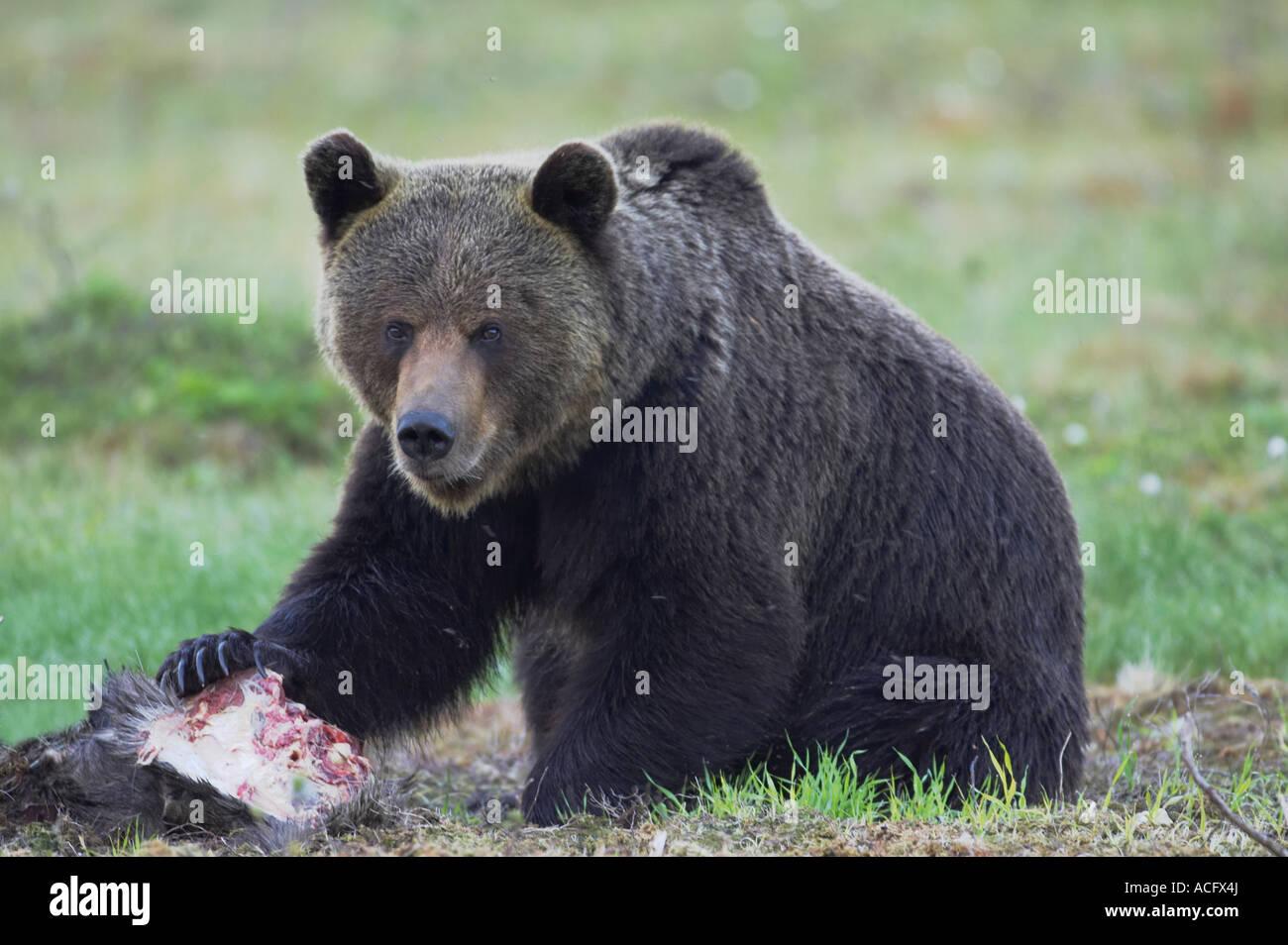 Oriental bear 001