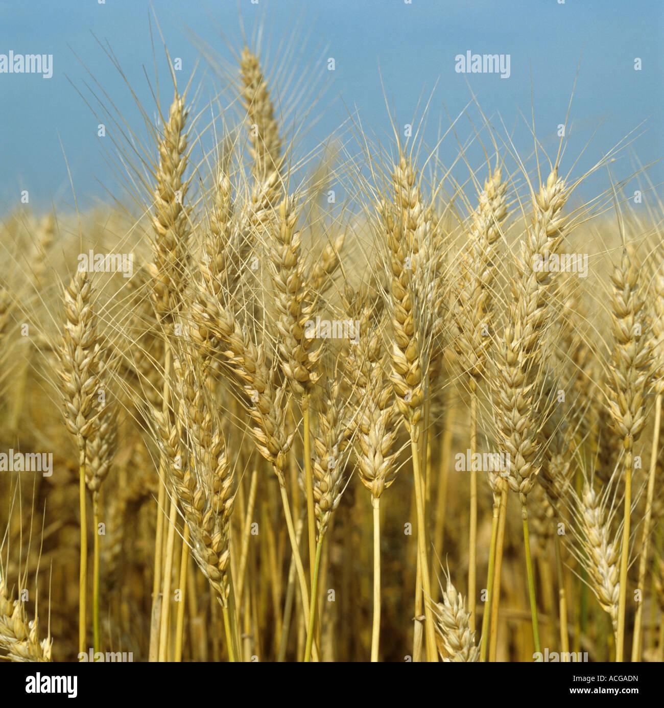 Espigas maduras de trigo barbudo Foto de stock