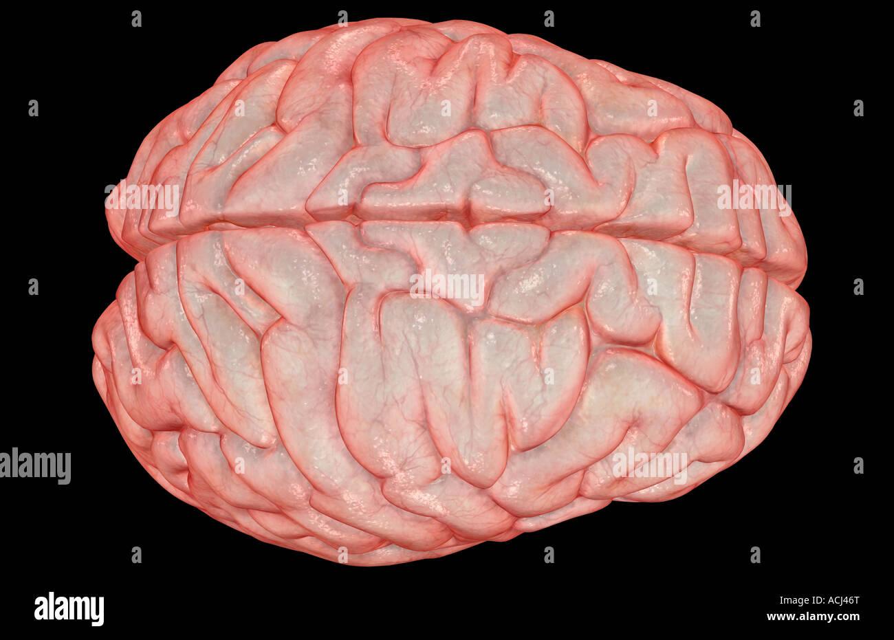 El cerebro Imagen De Stock