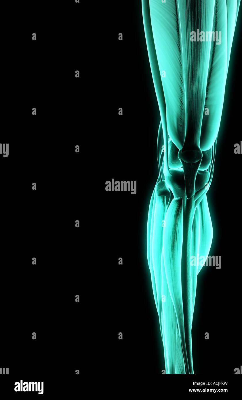Gastrocnemius Muscles Imágenes De Stock & Gastrocnemius Muscles ...