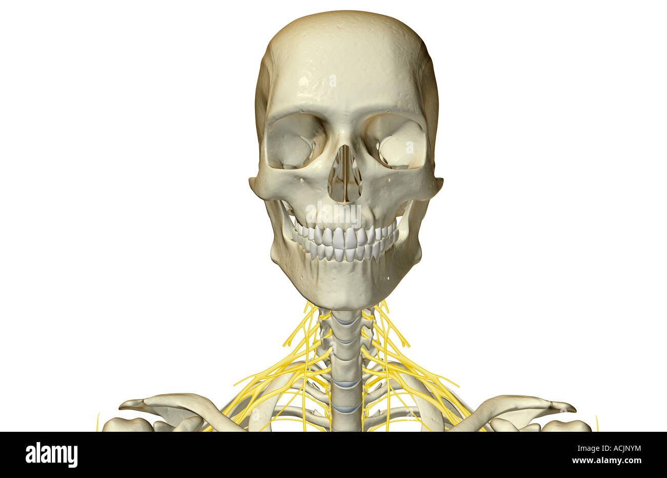 Los nervios del cuello Foto & Imagen De Stock: 13172311 - Alamy
