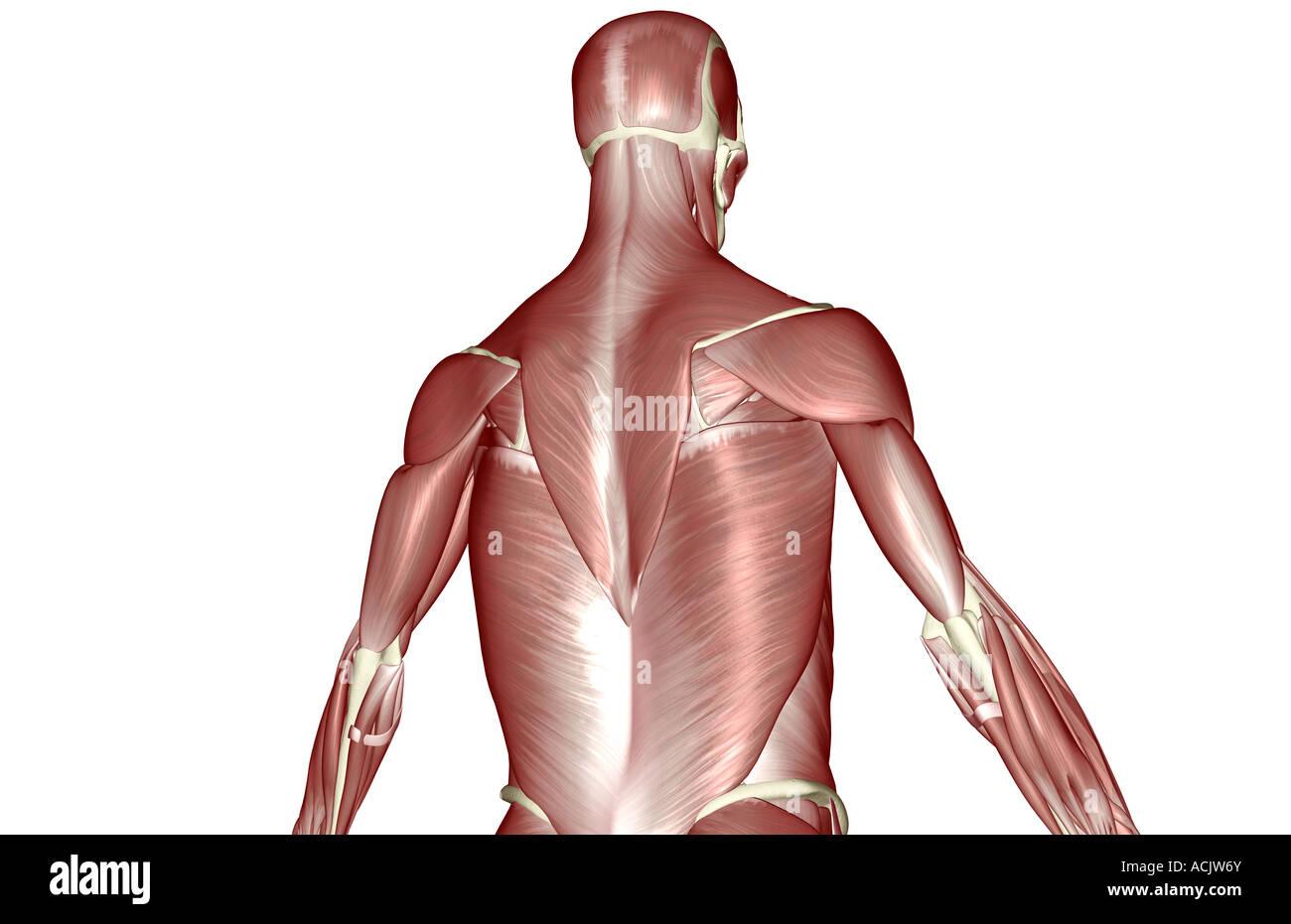 Perfecto Músculos De La Parte Superior Del Cuerpo Regalo - Imágenes ...