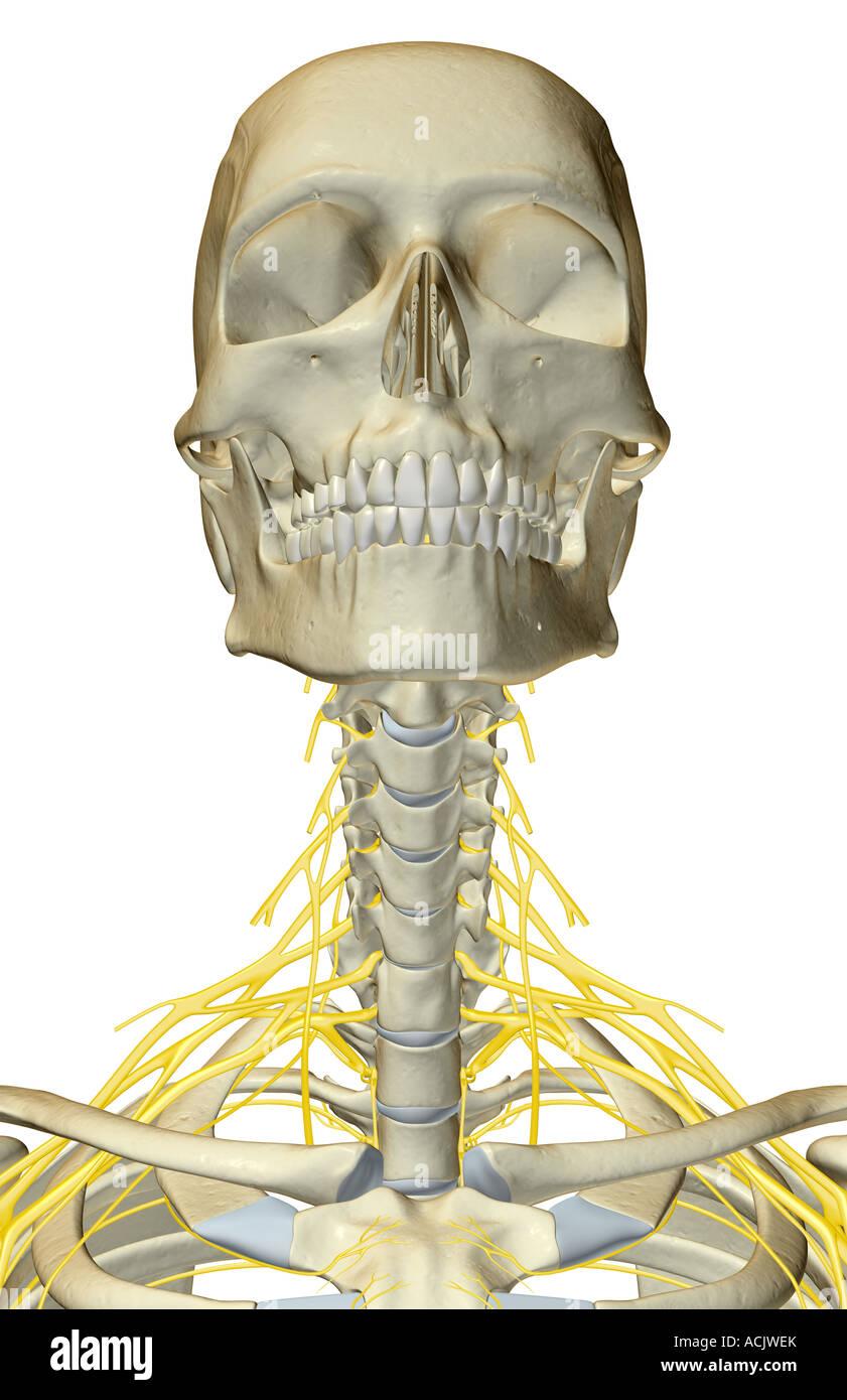Los nervios del cuello Foto & Imagen De Stock: 13173498 - Alamy