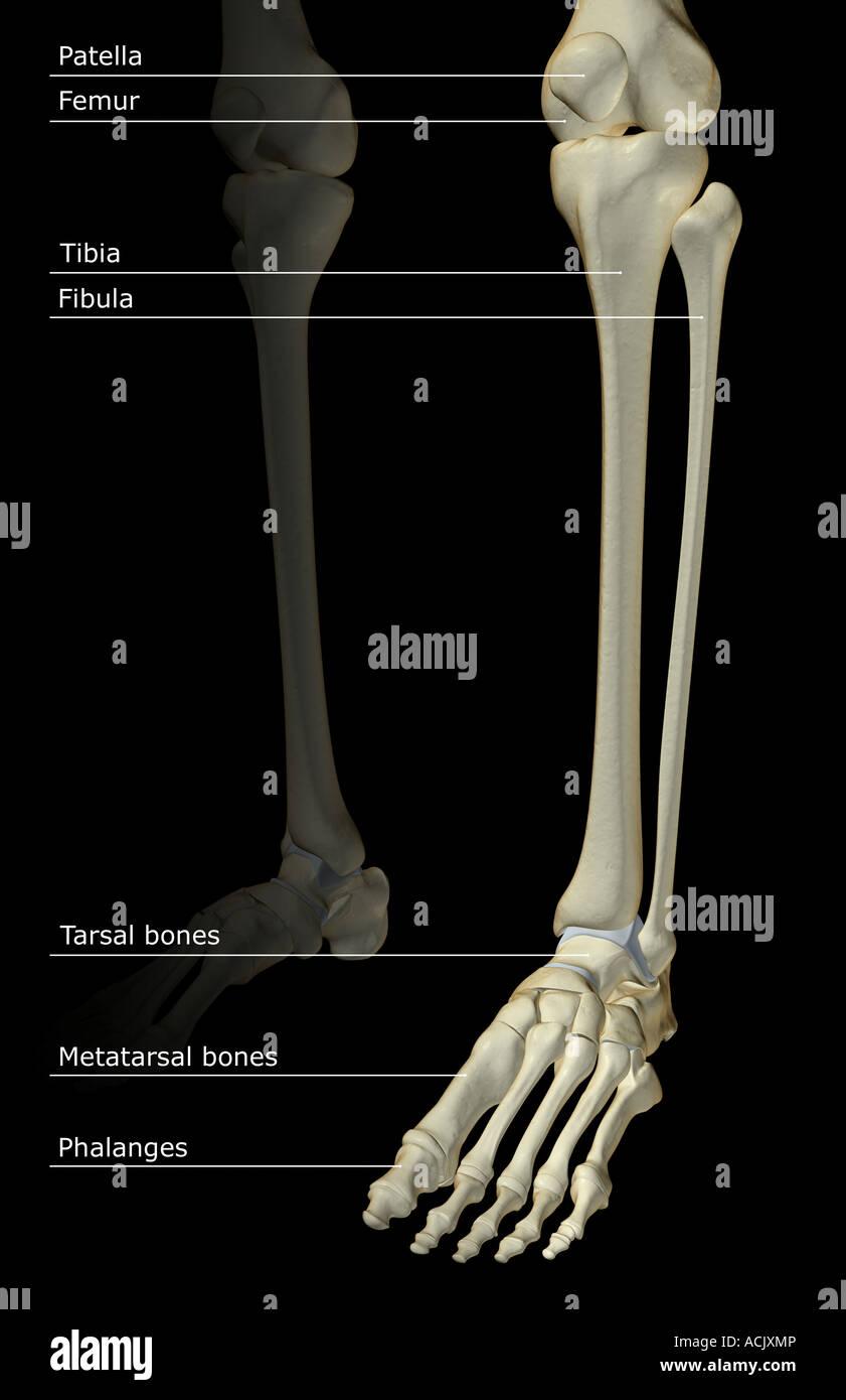 Los huesos de la pierna Foto & Imagen De Stock: 13173909 - Alamy