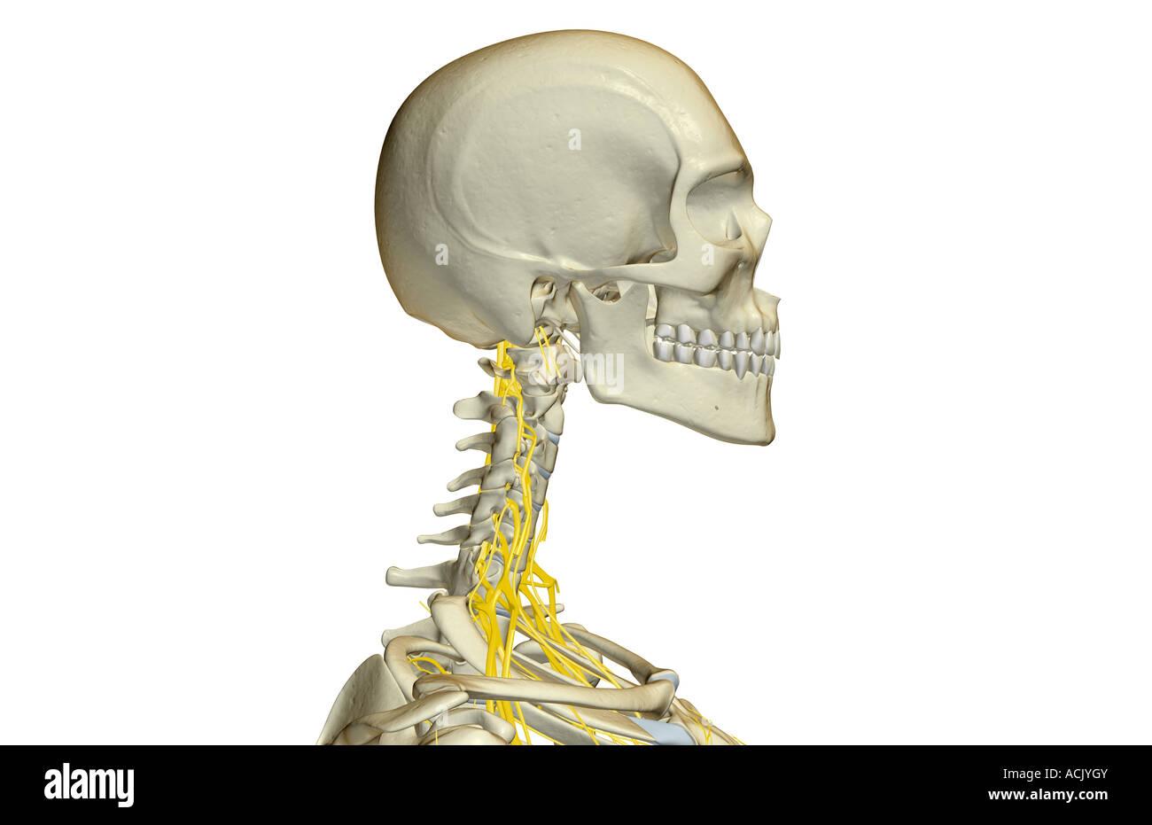 Los nervios del cuello Foto & Imagen De Stock: 13174202 - Alamy