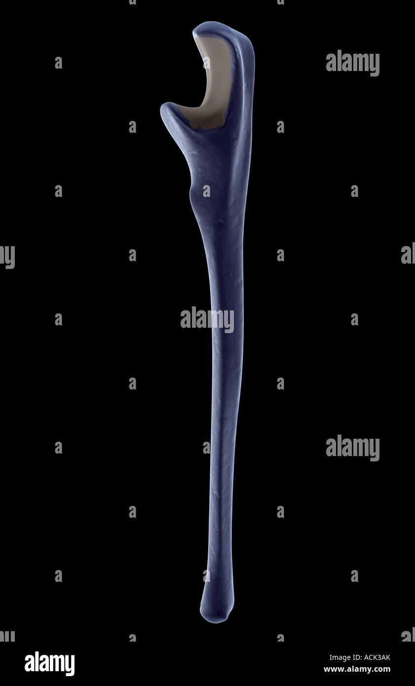 El cúbito Foto & Imagen De Stock: 13175466 - Alamy