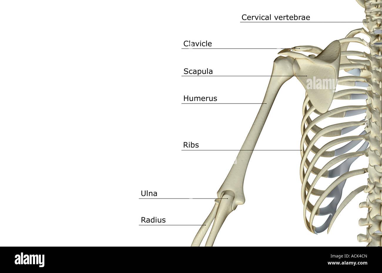 Los huesos del hombro y el brazo superior Foto & Imagen De Stock ...