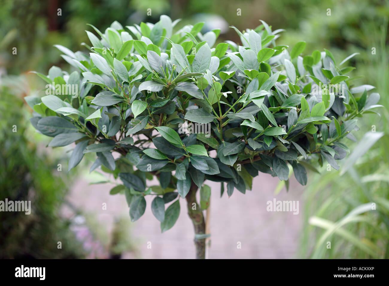 Prunus laurocerasus Mano Laurel Imagen De Stock