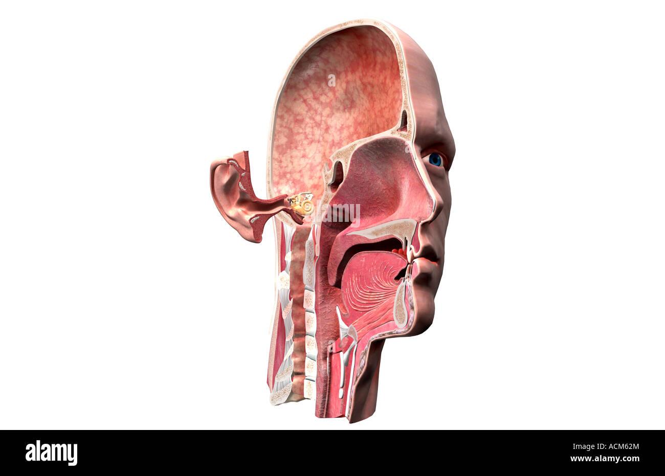 Anatomía del oído Foto & Imagen De Stock: 13185787 - Alamy