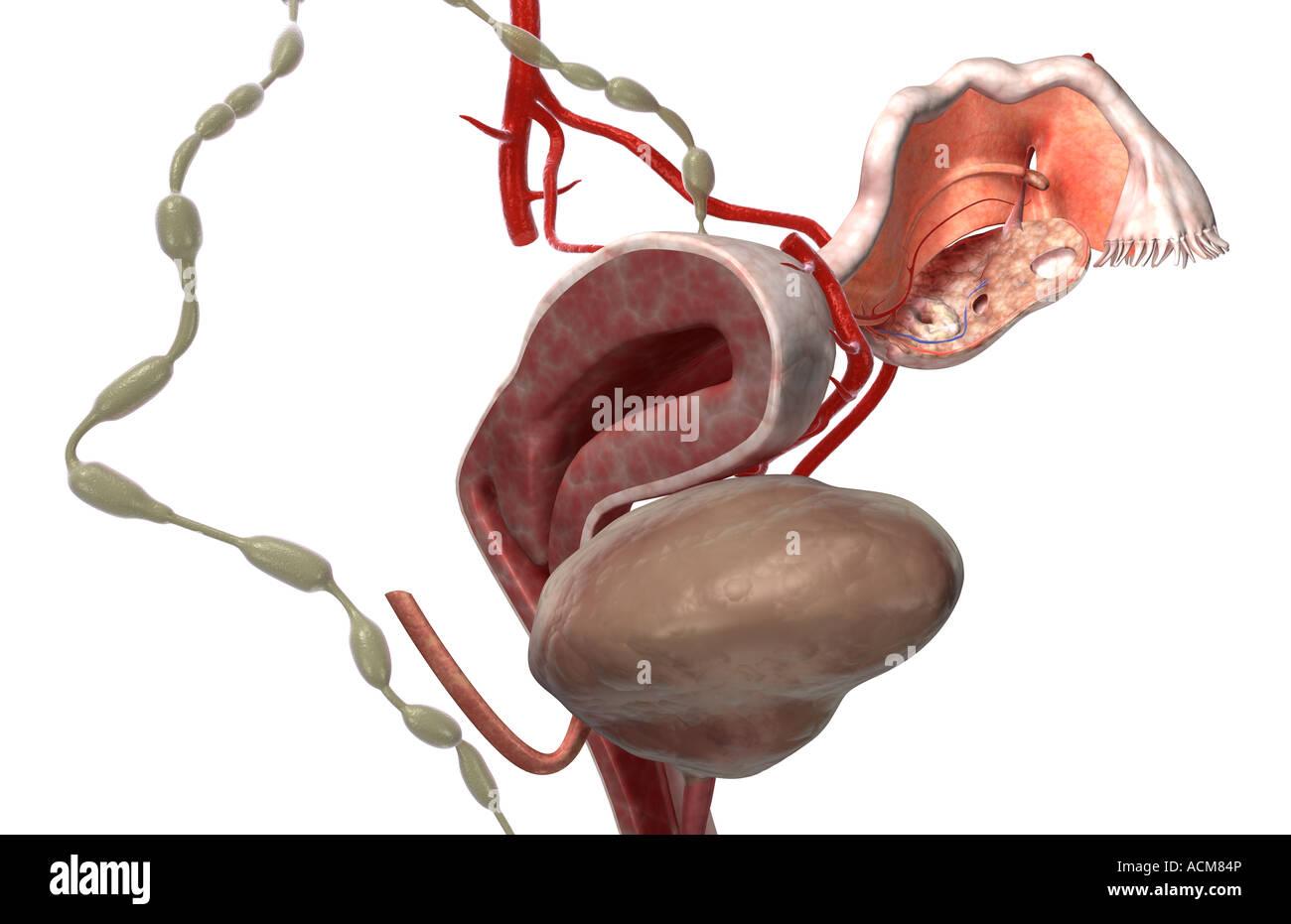Illustration Of Anatomy Of Cervix Imágenes De Stock & Illustration ...