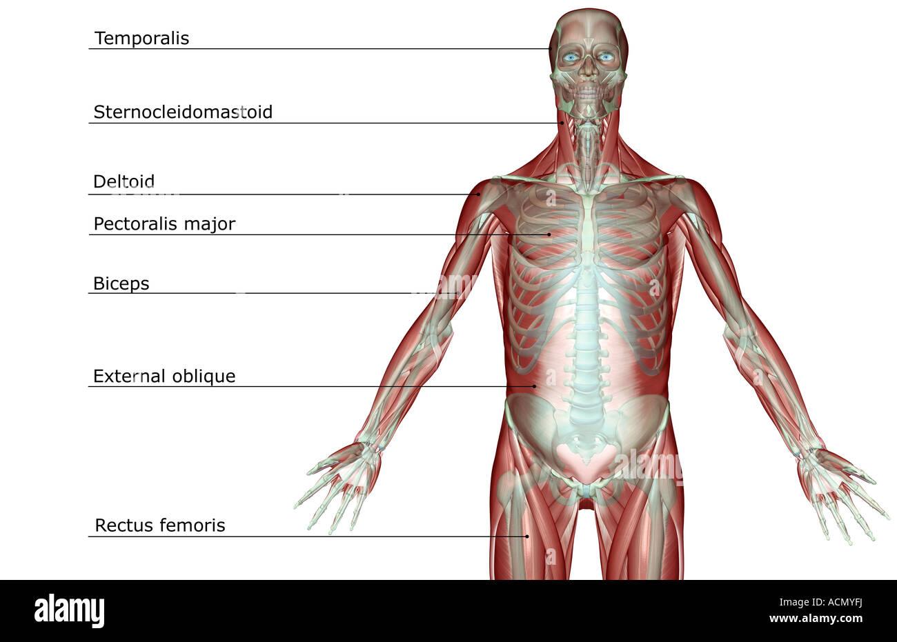 Excelente Los Músculos Del Cuerpo Superior Bosquejo - Imágenes de ...
