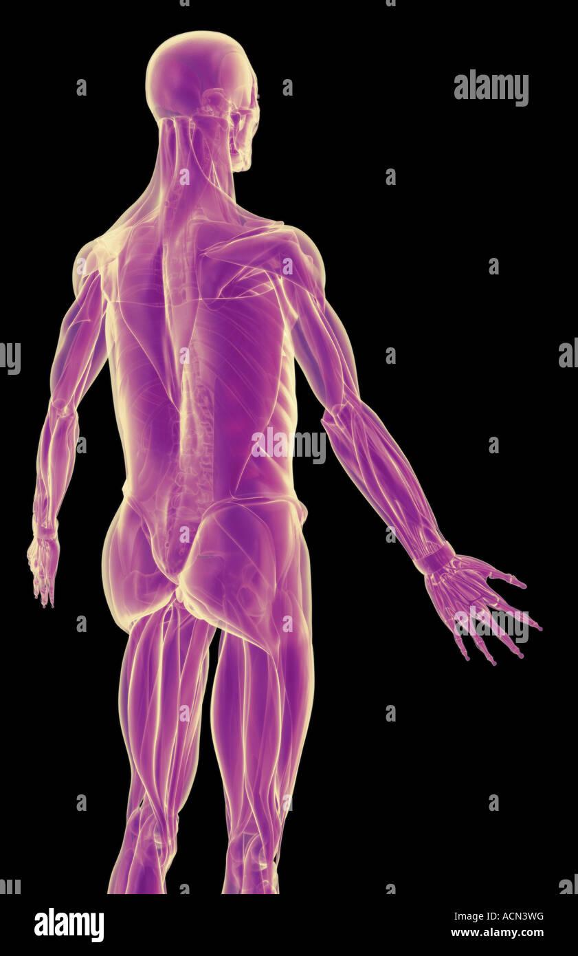 Los músculos de la parte superior del cuerpo Foto & Imagen De Stock ...