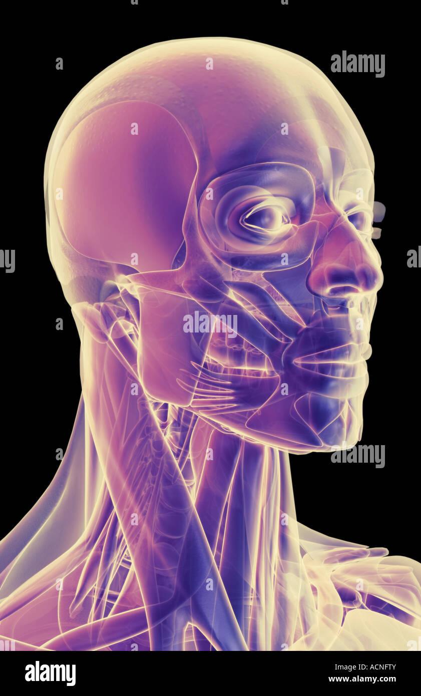 Los músculos de la cabeza y cuello y cara Foto & Imagen De Stock ...