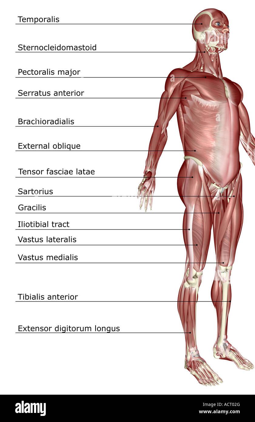El sistema muscular Foto & Imagen De Stock: 13221399 - Alamy