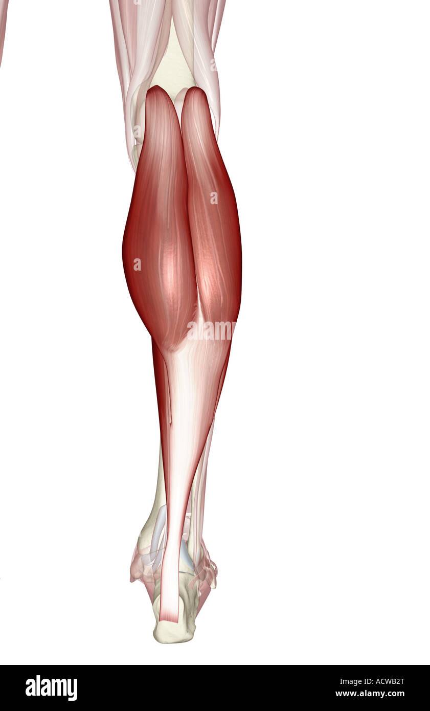 Gastrocnemius Muscle Imágenes De Stock & Gastrocnemius Muscle Fotos ...