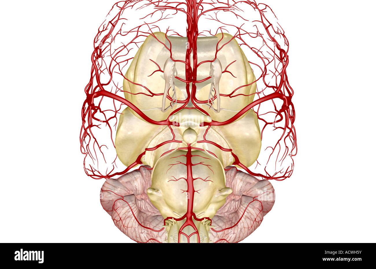 Illustration Circle Willis Circle Arteries Imágenes De Stock ...