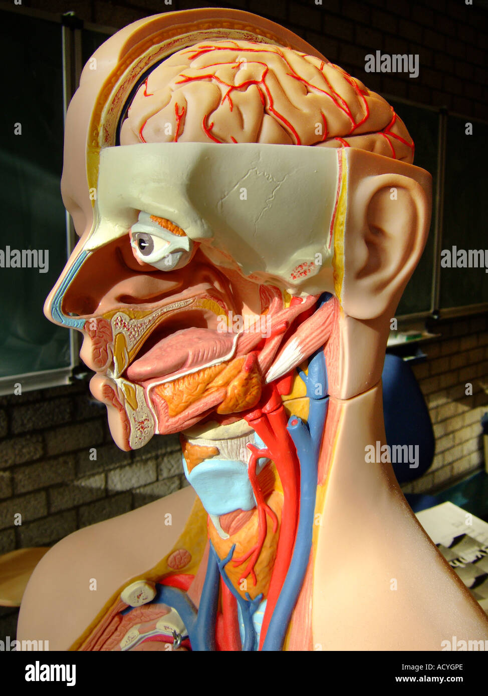 Vocal Cords And Larynx Imágenes De Stock & Vocal Cords And Larynx ...