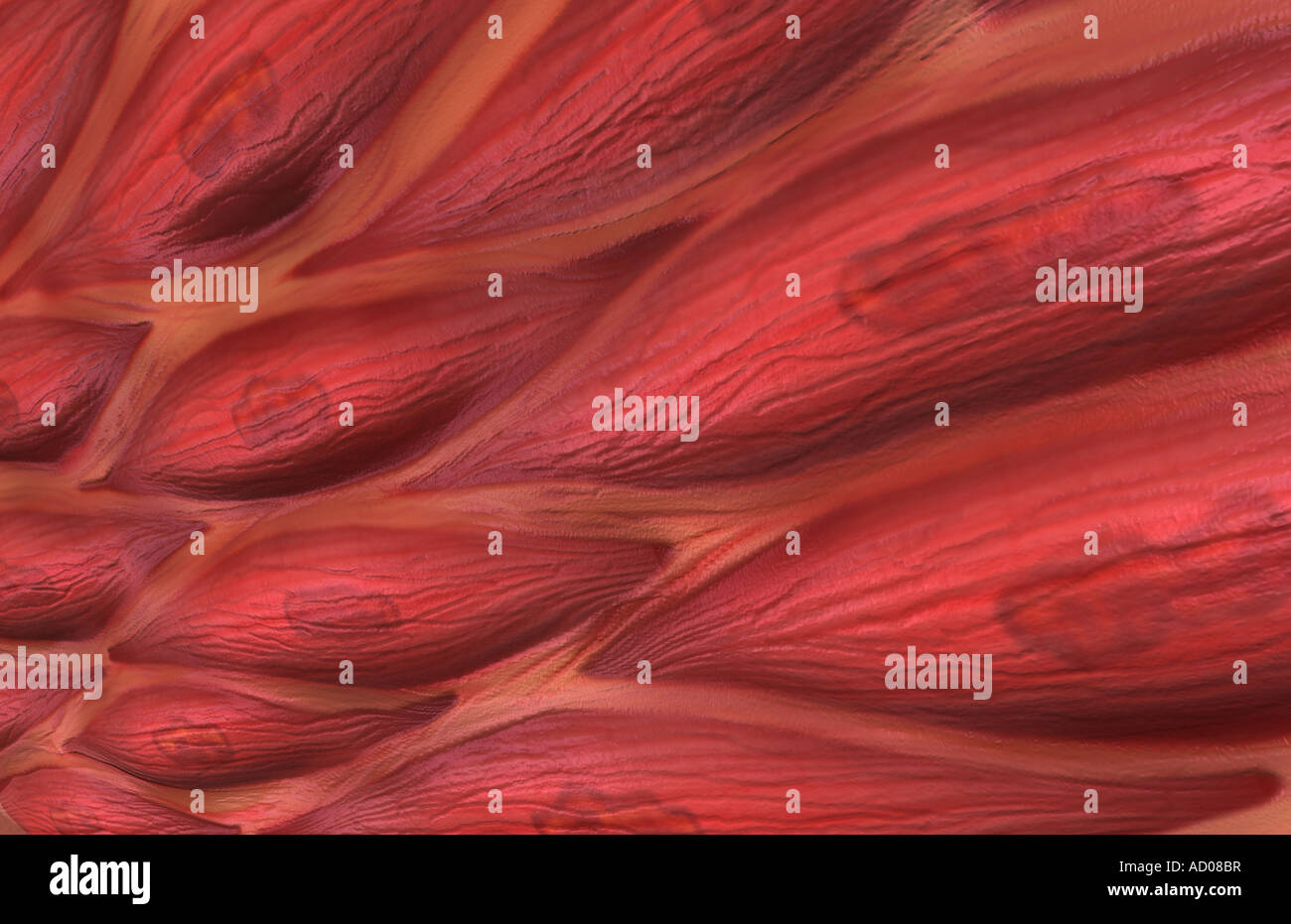 Tejido muscular liso Foto & Imagen De Stock: 13261834 - Alamy