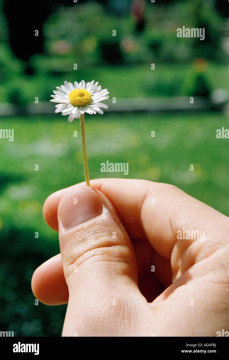Detalle de un hombre sosteniendo una pequeña daisy Imagen De Stock