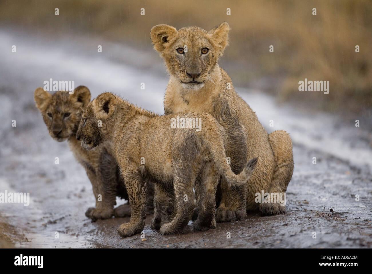 África Kenia la reserva Masai Mara cachorros de león Panthera leo sentado cubierto de barro mientras jugaba en la tormenta Foto de stock