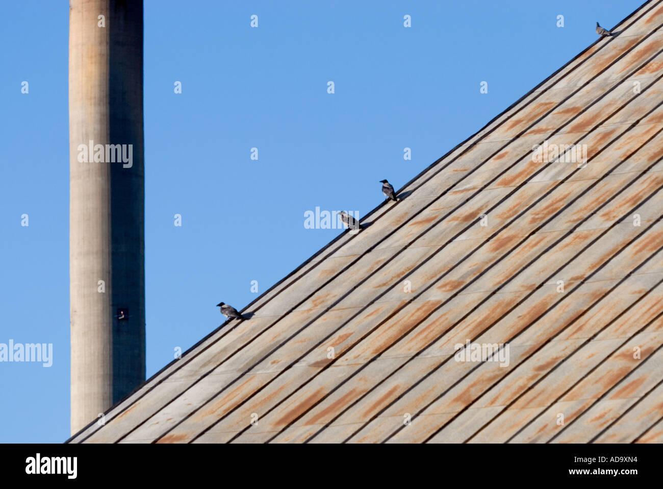Tres cuervos ( Corvus corone ) y una paloma en un techo de estaño oxidado gastado, Finlandia Foto de stock