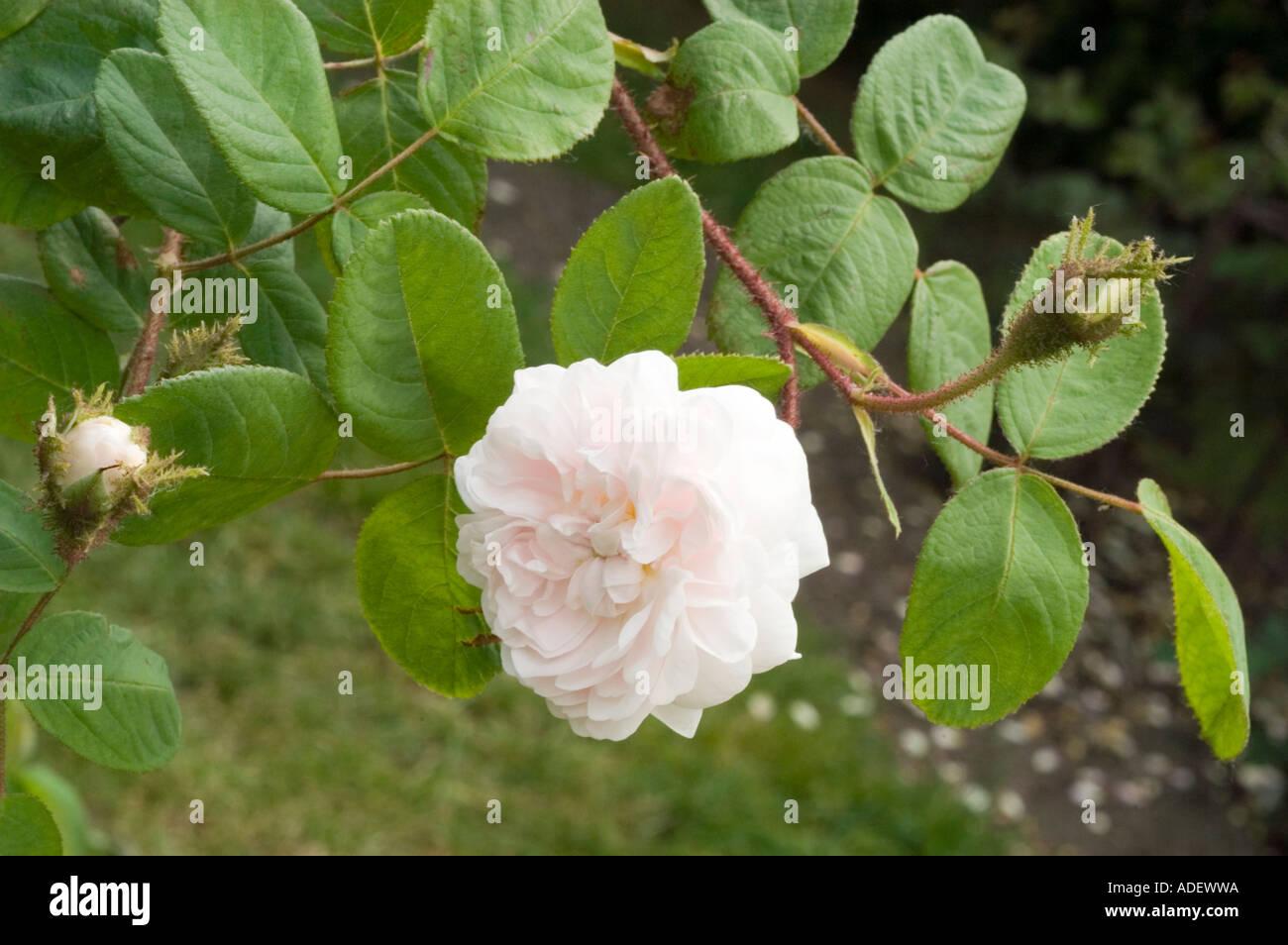 Rose Rosaceae Rosa x bifera remontanty Frau Karl Druschki o Snow Queen o blanco American Beauty o Reine des Neiges Foto de stock
