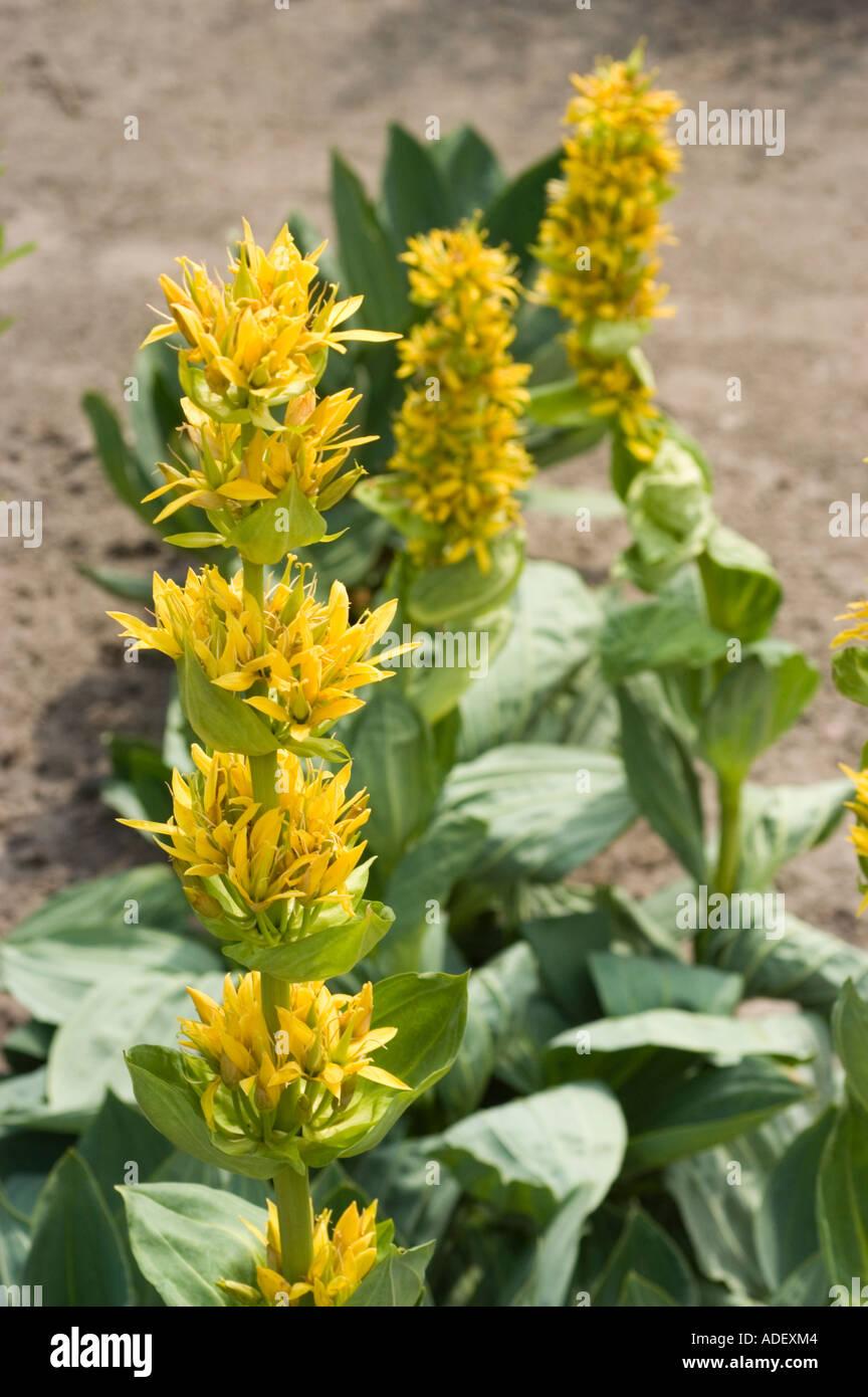 Flores Amarillas De Plantas Medicinales De La Genciana Amarilla