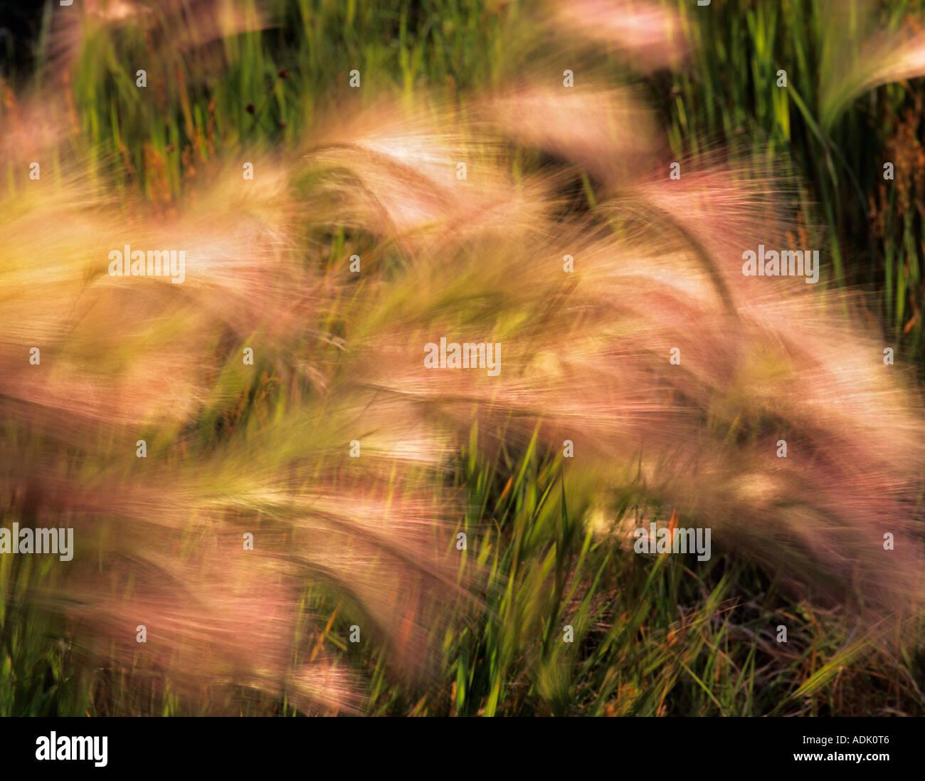 Hierba larga barba ondeando en el viento en la orilla del Lago Mono de California Foto de stock