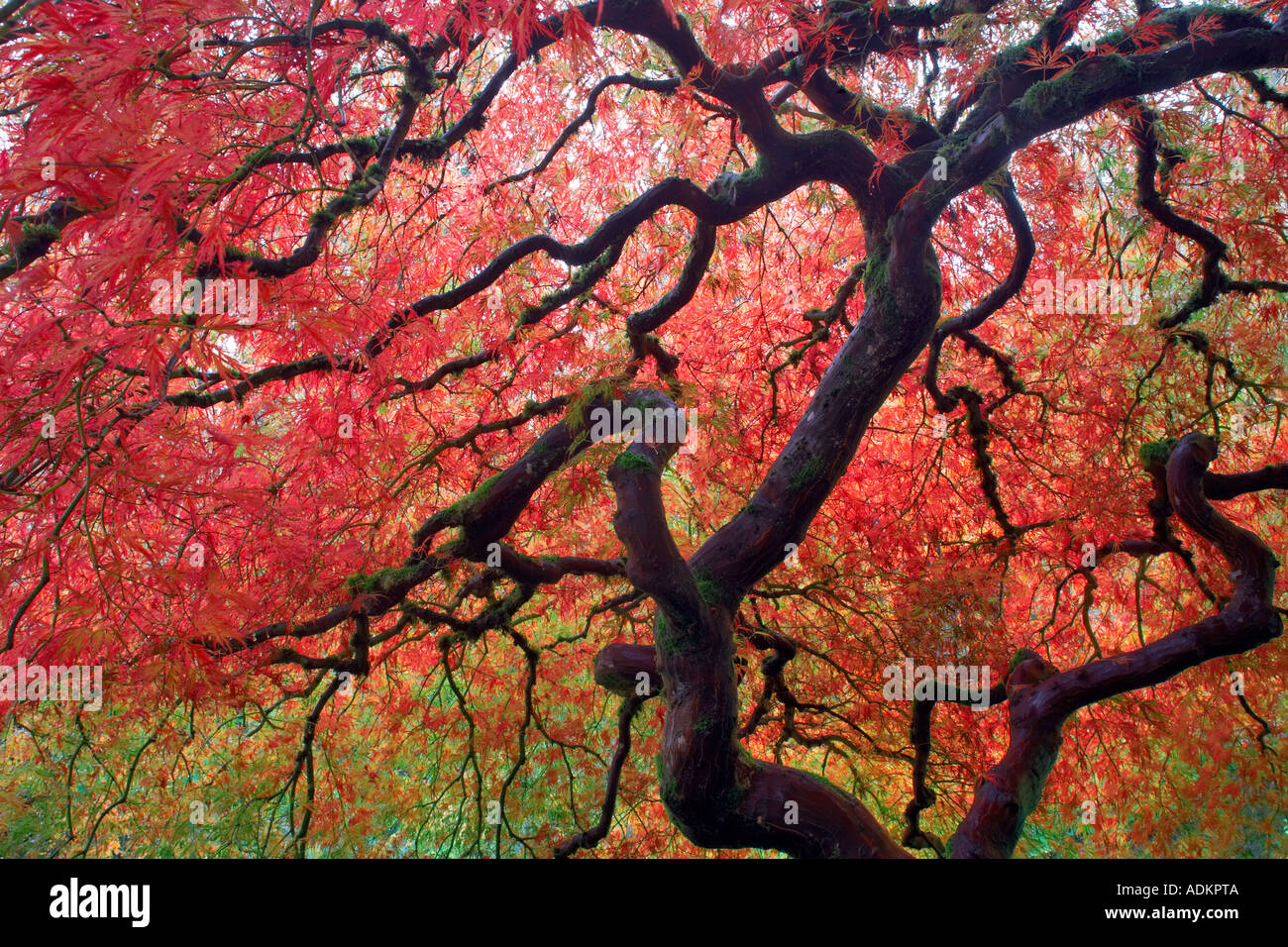 Arce japonés en otoño de color Jardines japoneses de Portland Oregon Imagen De Stock