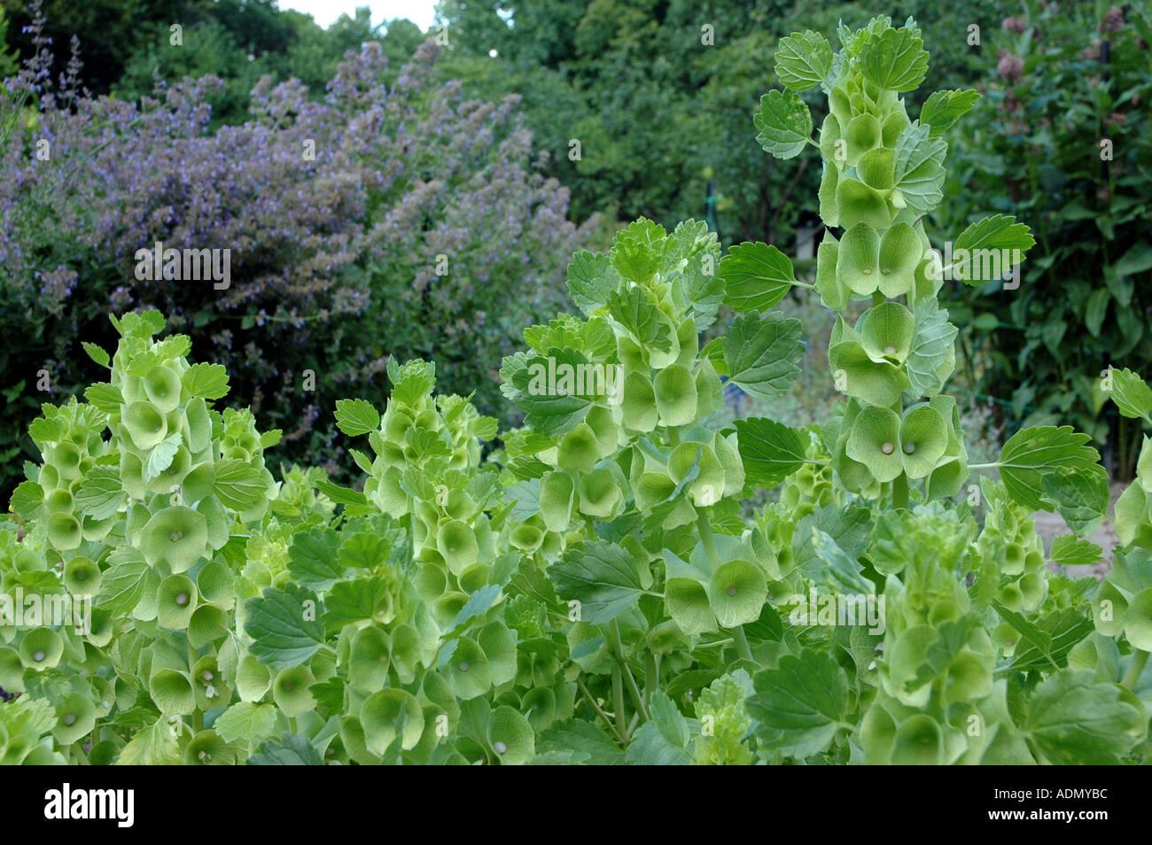 Semillas de Campanas de Irlanda Molucella Iaevis