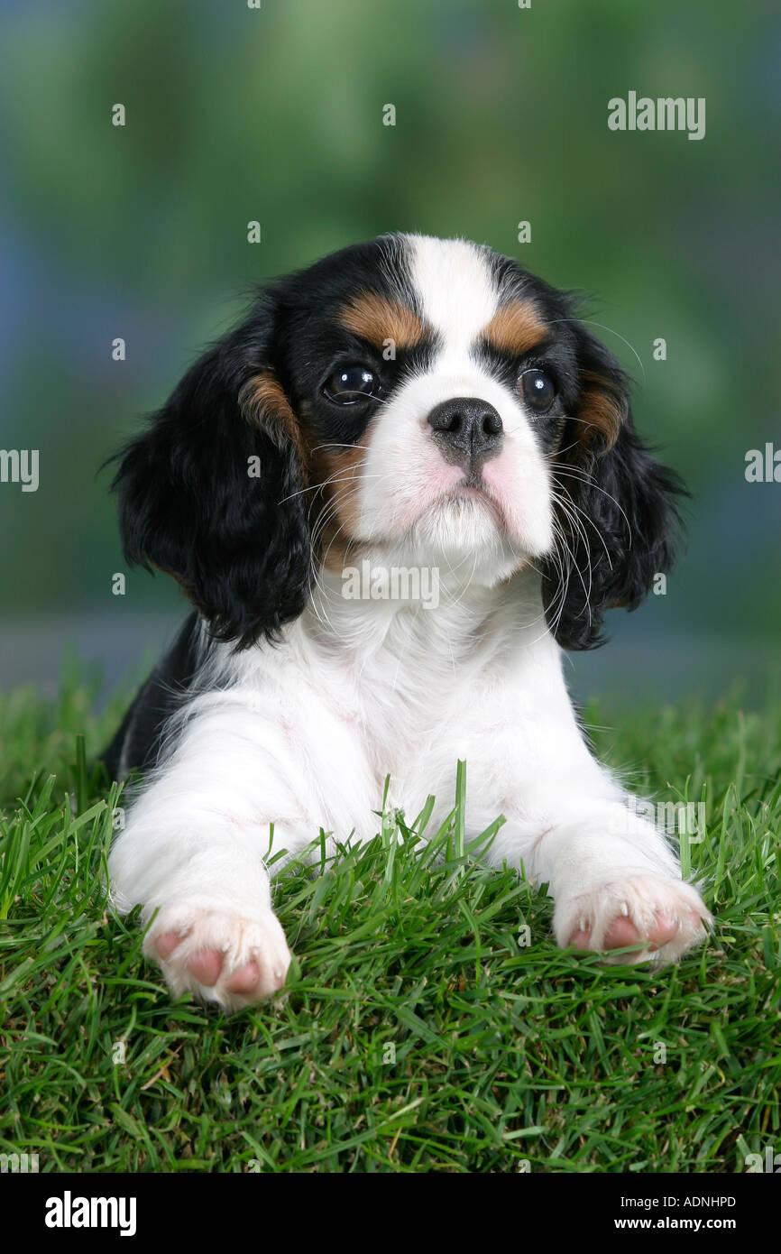 Cavalier King Charles Spaniel Cachorro De 8 Semanas Tricolor Fotografia De Stock Alamy
